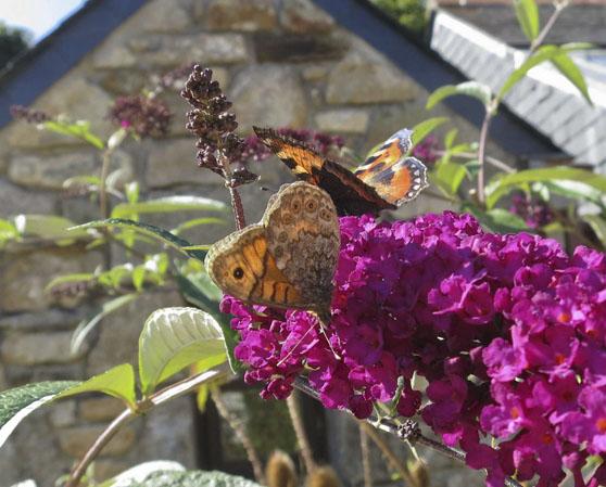 Buterflies a Cornish Garden