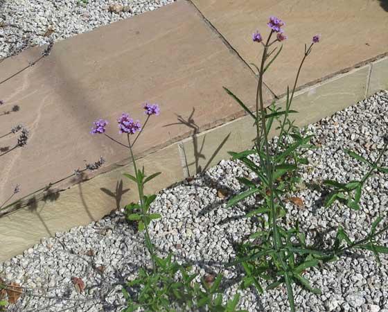 Self seeding plants in Cornish garden